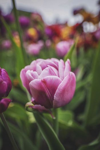 Ottawa's Tulips Festival! Flower Petal Beauty In Nature Nature Growth Fragility Freshness Flower Head Blooming Close-up Focus On Foreground No People Outdoors Photooftheday Editorial  Eye4photography  Canada Selective Focus EyeEm Gallery Eyeem Market Macro Ottawa Bokeh Tulip Blossom