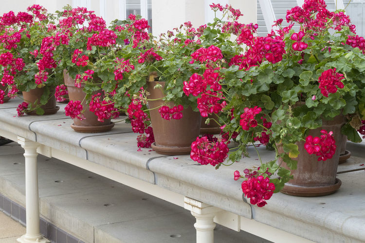 Flowerpots with blooming pink geranium flowers in a row on a white stone windowsill Flower Plant Flowering Plant Geranium Geranium Flower Potted Plant Flower Pot Red Indoors
