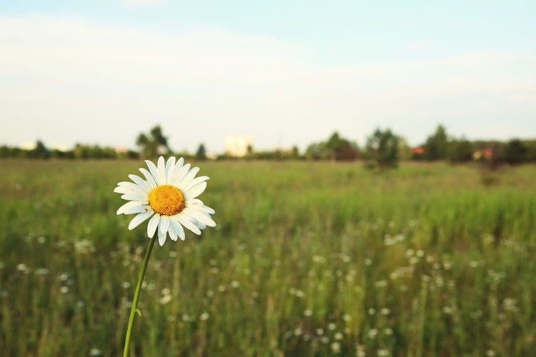 Beauty In Nature Blooming Daisy Day Field Flower Fragility Grass Growth Landscape Nature Outdoors Plant Stem Tranquil Scene Tranquility