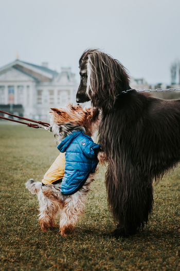 Two small dogs making friends with a big hound on field