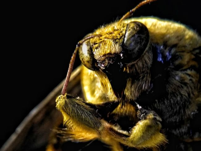 One Animal Animal Themes Close-up Black Background Animal Wildlife No People Animals In The Wild Portrait Outdoors Day Mammal Black Background Colored Background Animal Head  Bee Insect Photography Eyem Best Shots Eyemgallery Carpenter Bee