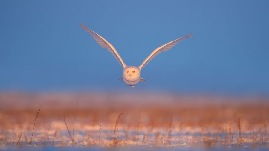 Owl flying over field against sky during sunset