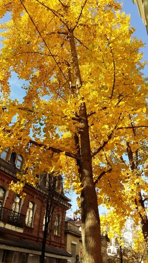 Гингко. Краснодар, золотая осень. гингко краснодар краснодарскийкрай ноябрь золотаяосень золото Autumn Gingko Tree Gingko Low Angle View Tree Day Growth No People Outdoors Nature Beauty In Nature