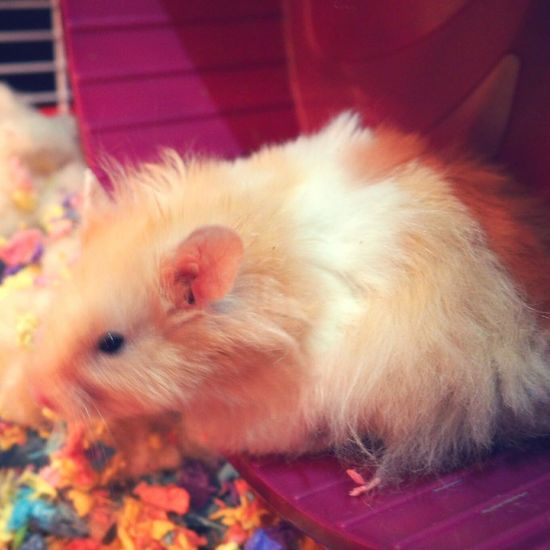 My Baby Hamster Syrian Hamster  Fluff Ball Huxley The Hamster Cute Pets 😚 😚
