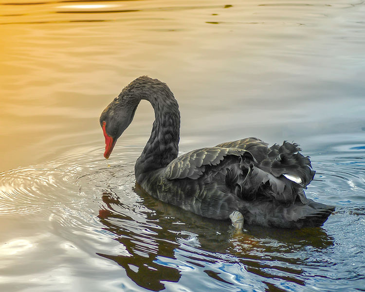 Black swan on a lake Animal Animal Themes Animals In The Wild Avian Beauty In Nature Bird Black Swan Black Swan Black Swan On Water Black Swans Lake Nature Swan Swimming Water Water Bird Wildlife Zoology