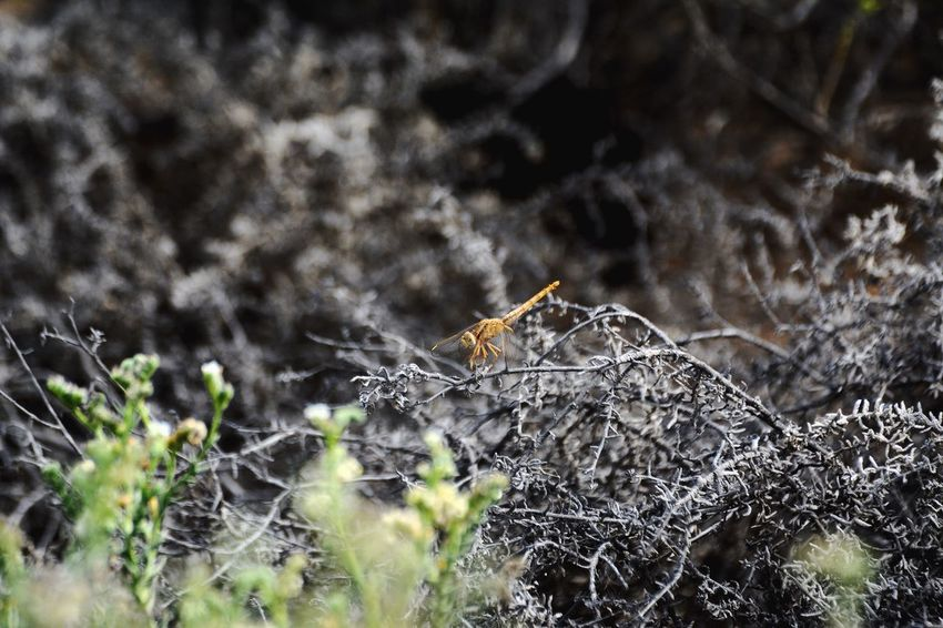 Dragonfly (Carmine Darter) Animals In The Wild Animal Wildlife One Animal No People Animal Themes Close-up Nature