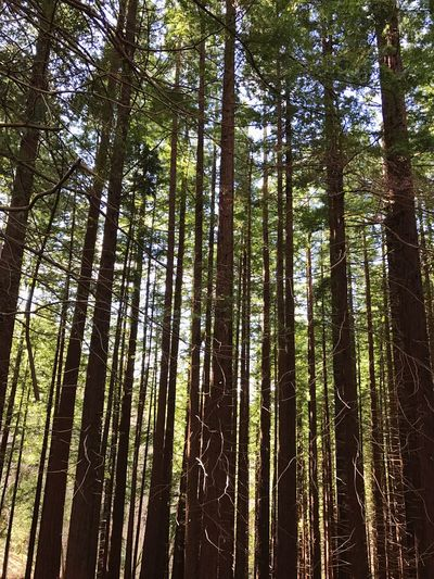 Sequoia Tree Cabezon De La Sal