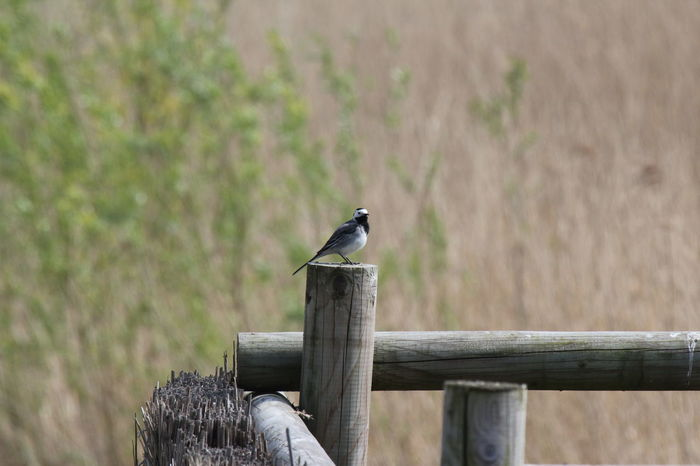 Animal Themes Animals In The Wild Balance Bird Birds Danger Day Fence Focus On Foreground Grass Little Bird No People One Animal Outdoors Perching Protection Safety Selective Focus Wildlife Wood Wood - Material Wooden Zoology