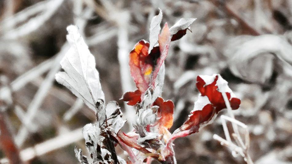 Nature Leaf Outdoors Red No People Plant Close-up Beauty In Nature Fragility Day Flower Dried Plant Wilted Plant Nature Close Up Withered Beauty