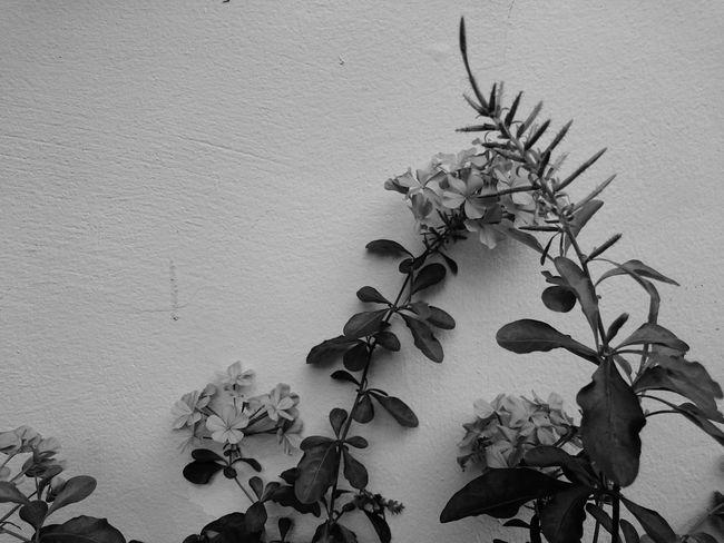 XperiaZ3 Blue Plumbago Blackandwhitephoto Outdoor Nature Wall Flowers Blackandwhite Premium Collection Photography