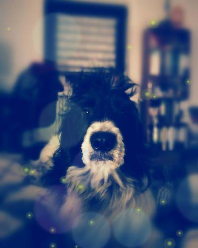 Dog No People Indoors  One Animal Hundefotografie Domestic Animals Irish Wolfhound Mix Border Collie Mix Hovawart Mix