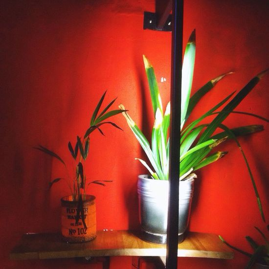 Potted Plant Growth Plant Indoors  Home Interior No People Illuminated Nature Flower Close-up Day Red