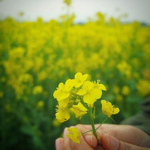 대저유채꽃축제 이쁜손 . . .Photography Photographer 부산 Busan Spring Flower 일상 데일리 감성 감성사진 사진 여행 일상공유 Sotong 미러리스 Follow Followme Photo Travel Daily Southkorea