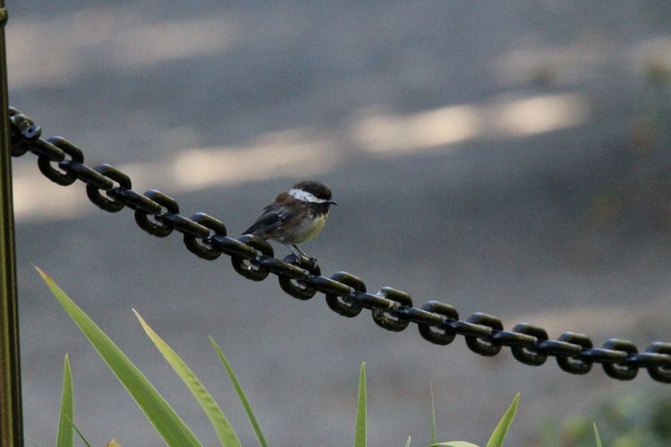 View of birds perching on chain