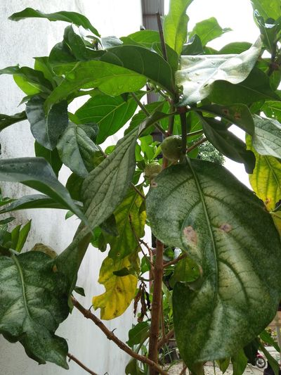 Growth Leaf Green Color Day Nature No People Plant Close-up Outdoors Freshness Tree Beauty In Nature Herbal Medicine Herbalife Herbal Plant Mengkudu