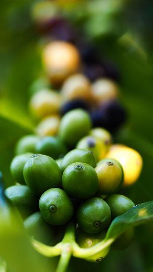 Coffee beans ripening on coffee tree branch, selective focus for business nature concepts backgrounds Organic Food Organic Coffee Beans Roaster Coffee Bean Coffee Ripe Raw Food Outdoors Plant Growth Large Group Of Objects Abundance Vegetable Nature Focus On Foreground Day No People Selective Focus Freshness Wellbeing Close-up Fruit Healthy Eating Food Food And Drink Green Color Green Pea