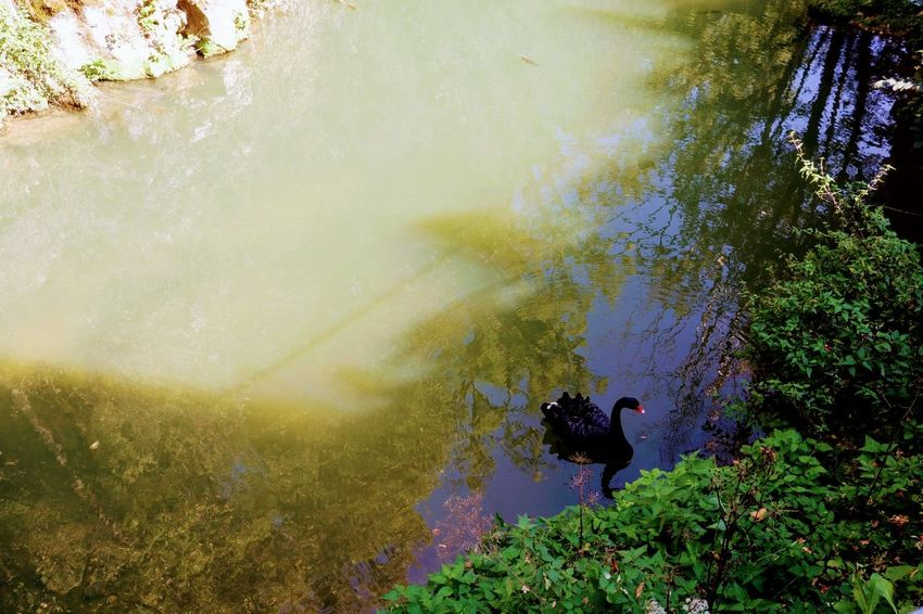 Black swan Waterfront Nature Greenery Black Swan Animals In The Wild Nature Photography Water Men High Angle View