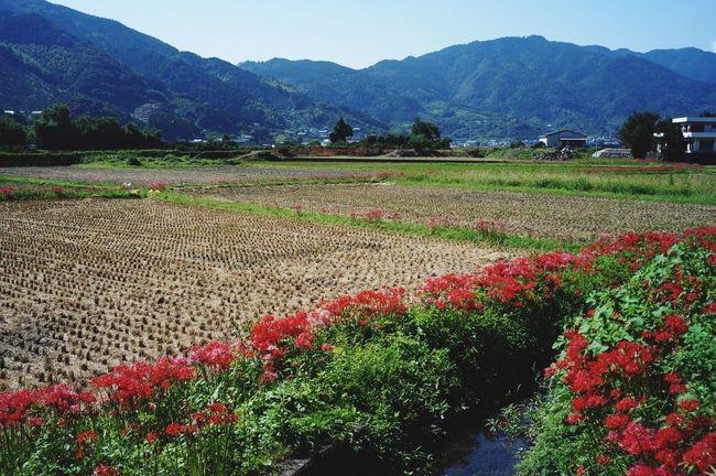 Nature Landscape Japan 徳島県 Spiderlily