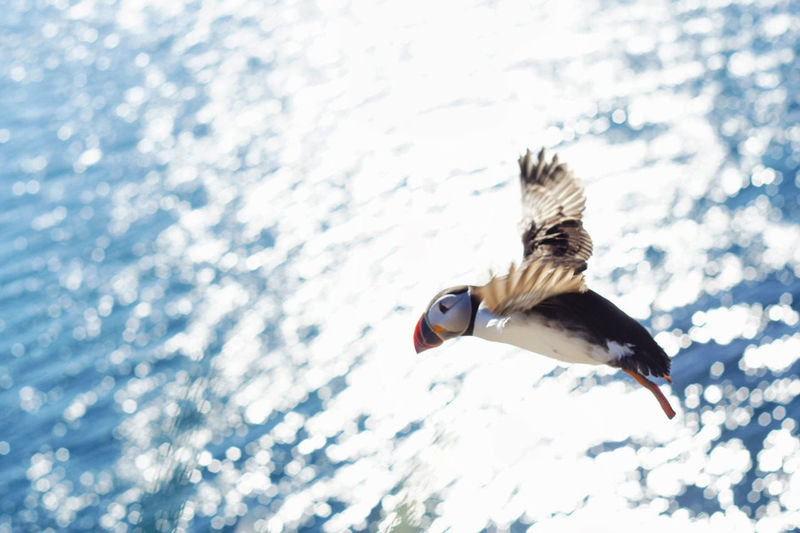 Puffin Bird Flying Over Water