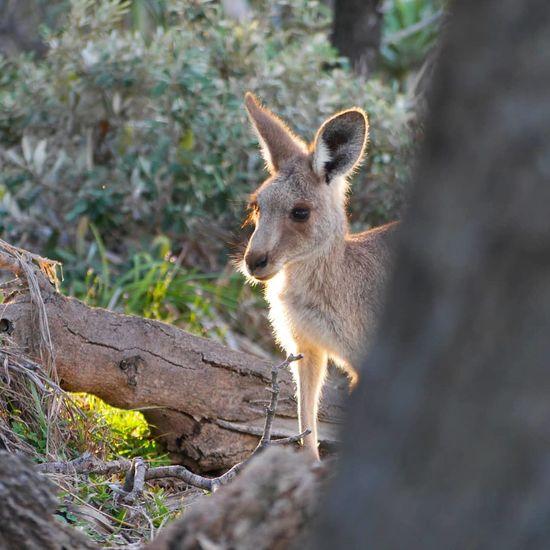 Kangaroo Tree Ear Social Issues Close-up Kangaroo Animal Eye HEAD Animal Head  Animal Ear Queensland Animal Nose Eye