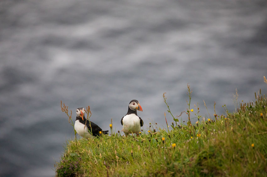 Puffins EyeEm Nature Lover Gasadalur Puffin Tadaa Community Animal Animal Family Animal Themes Animal Wildlife Animals In The Wild Bird Day Faroe Islands Field Grass Group Of Animals Land Mammal Nature No People Outdoors Plant Selective Focus Two Animals Vertebrate Young Animal