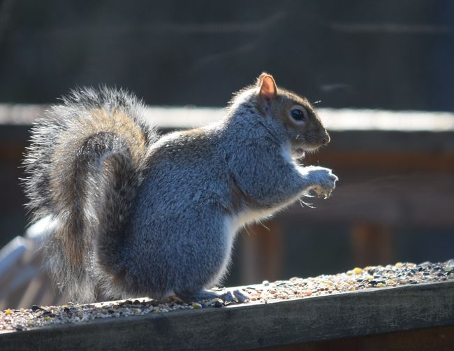 Close-up of squirrel on wood