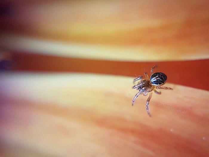 Tiny resident in my African Daisy. 🕷 Macro Macro Photography PhonePhotography Yellow EyeEmNewHere Orange Color S7 Edge Photography S7edge S7edgephotography S7 Edge Apexel Apexellens Clip On Lens  Purple Lila Nature Osteospermum Ladybug Close-up Spider
