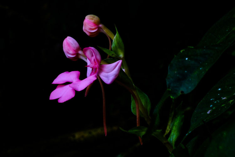 Snapdragon at Mun dang 2 Flower Pink Color Petal Nature Fragility Plant Beauty In Nature Black Background Close-up Flower Head No People Growth Freshness Leaf Night Outdoors Snapdragon Wild Flowers Freshness Day Growth Beauty In Nature Nature EyeEmNewHere The Week On EyeEm