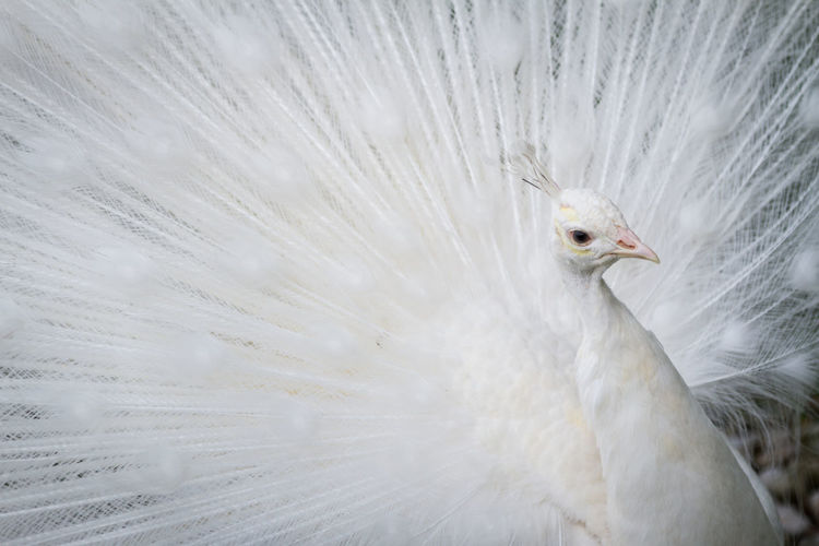 Close-up of white peacock with fanned feathers