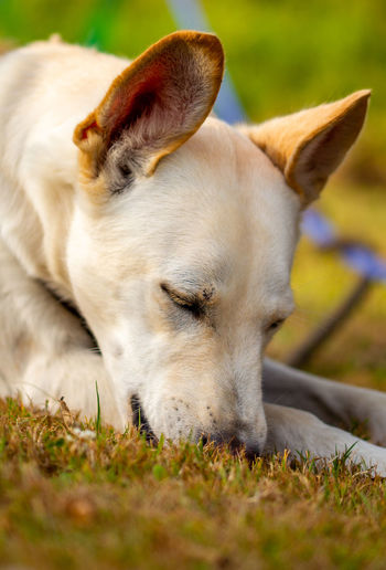 Close-up of a dog resting on field