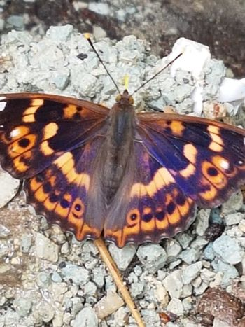 Butterfly - Insect Insect One Animal