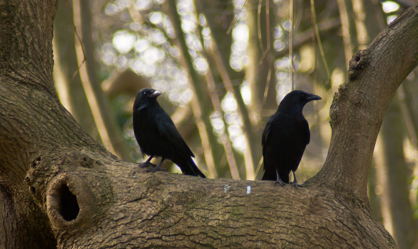 Low angle view of crows perching on tree