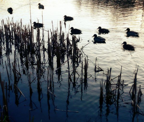 Winter evening, ducks and reeds. Gradiented Sky Winterscapes Duckpond Tranquility