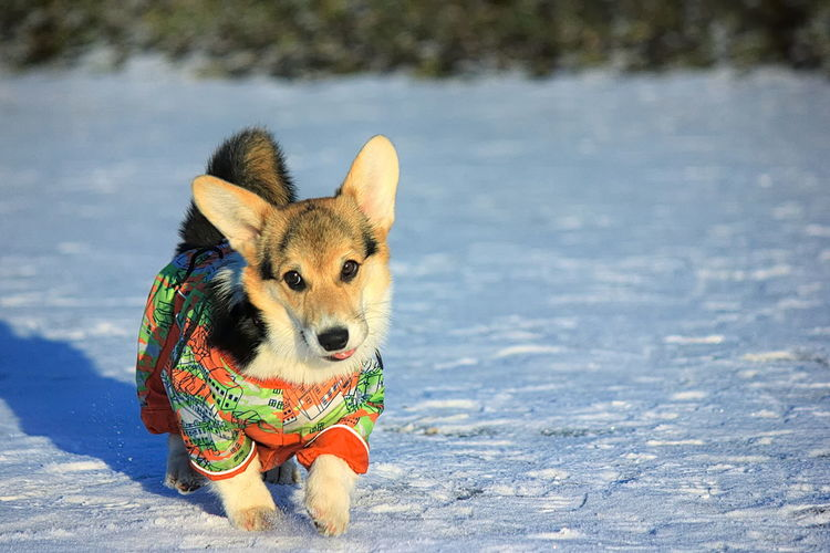 Close-up of dog walking on snowy field during winter