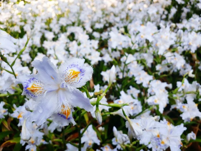 Flower Fragility Petal White Color Nature Flower Head Blossom Beauty In Nature Freshness Springtime Close-up No People Outdoors Day