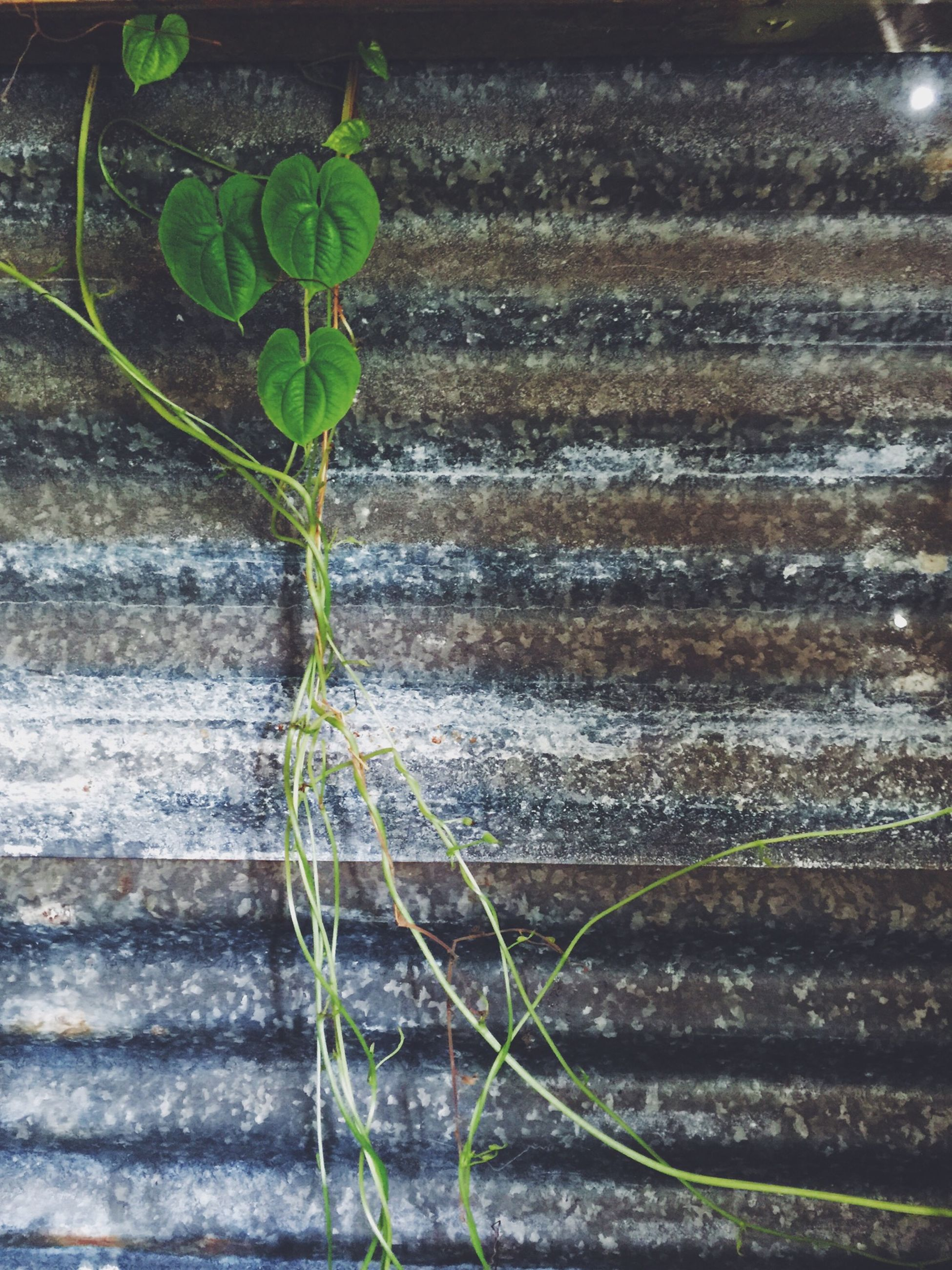 plant, leaf, growth, green color, close-up, nature, growing, outdoors, day, high angle view, no people, fragility, wood - material, sunlight, focus on foreground, freshness, selective focus, stem, wall - building feature, potted plant