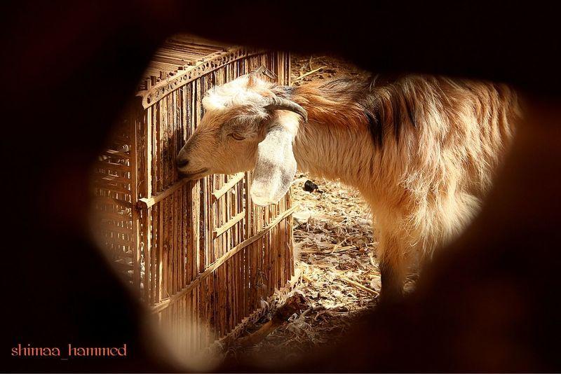Eating Goat Behind The Door Day Domestic Animals Indoors  Shadow Sunlight