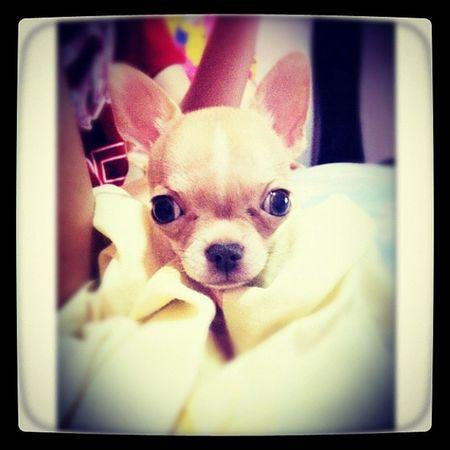 Chihuahua Babyelmo Applehead Pawtraits pets petoftheday petstagram dogs dogoftheday dogstagram igersmanila igerscebu instadog instago instamood instadaily kawaii instagramhub instaasia