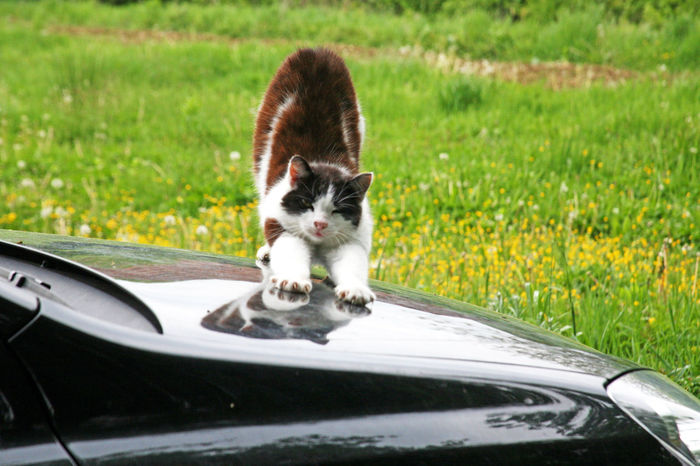 Cat Angelina scratchs a car and enjoys,Bregana Pisarovinska,Croatia,EU,2016. Angelina Car Cat Close-up Domestic Animals Enjoying Enjoying Life Feline Grass Grassy Land Vehicle Mammal Nature No People Outdoors Pets Scratch Scratches Vehicle