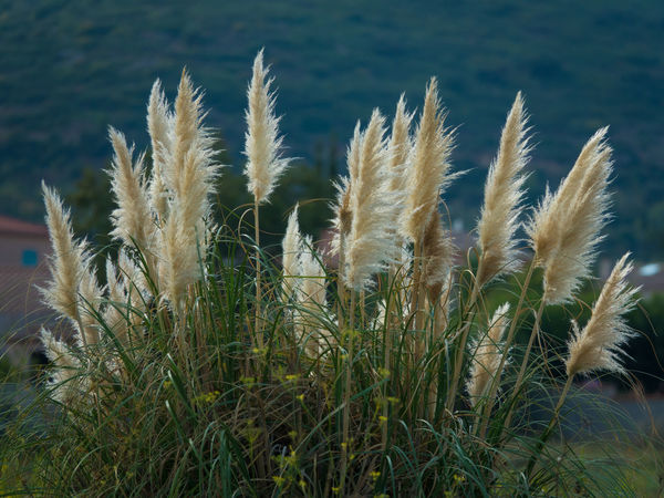 Blowing In The Wind  Nature Photography Beauty In Nature Green Color Narrow Depth Of Field No People Outdoors Pampas Grass In The Breeze Plant Photography White Flower Wild Nature