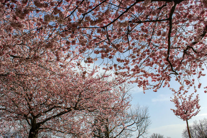 07042018 Tree Flower Branch Springtime Blossom Backgrounds Sky Close-up Cherry Blossom In Bloom Blooming Petal Flower Tree