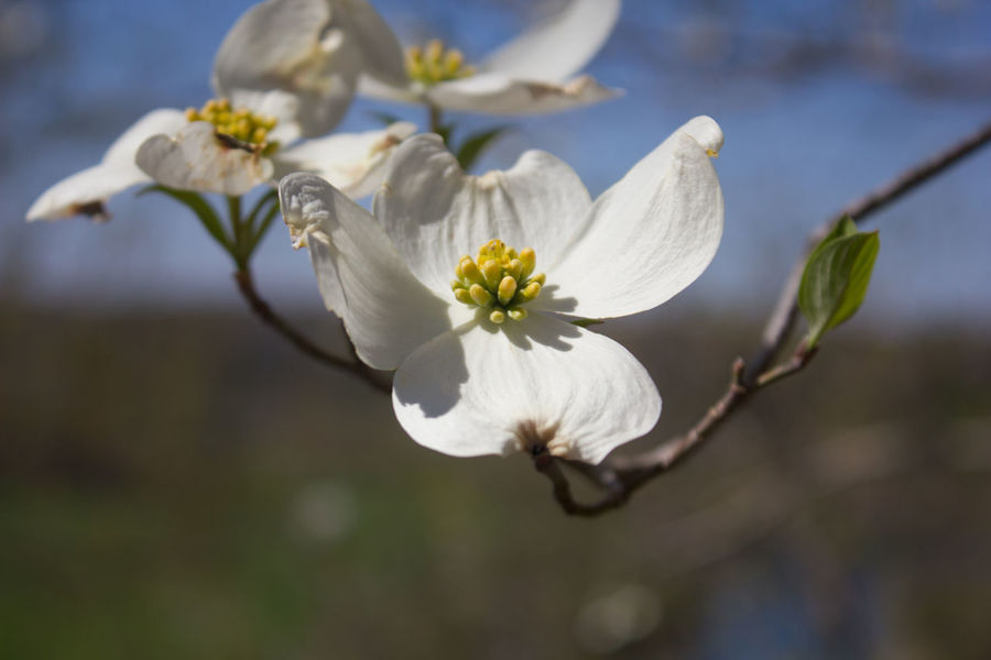 Dogwoods in flower are the sign of spring in the Ozarks Arkansas Beauty In Nature Blossom Branch Dogwood Blossom Dogwoodflowers Flower Nature No People Outdoors Spring White White Color
