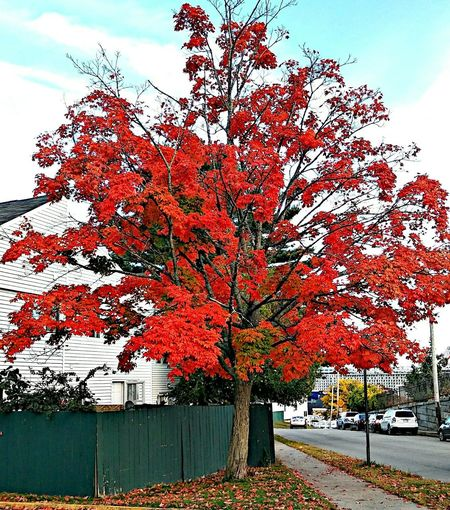 A red dress for the season.... ~ Happiness Portland Maine Color Of Life Freshness Loving The Landscape Beauty In Nature No People Bright Colors In My Yard Nature Lover Tranquility Tree Autumn Multi Colored Red Sky Architecture Building Exterior Change Leaves Autumn Collection Fallen Leaf
