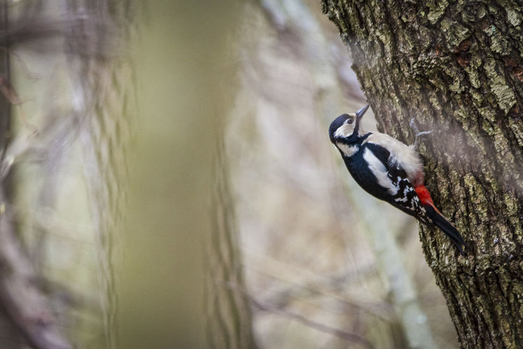 large Woodpecker Animals In The Wild Animal Wildlife Animal Animal Themes Vertebrate Bird One Animal Trunk Tree Trunk Tree Plant Day Nature No People Perching Selective Focus Outdoors Plant Bark Woodpecker Focus On Foreground