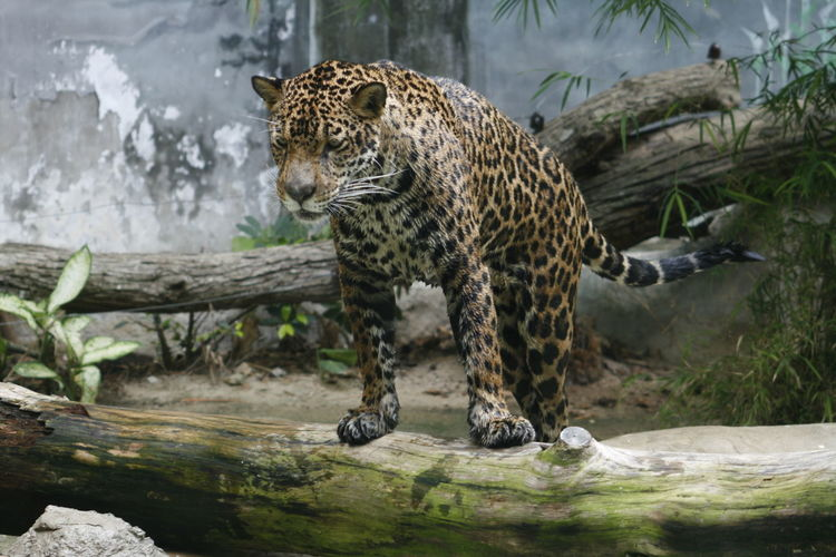 Leopard Zoo Animals