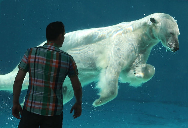 Polar bear swimming under water, as seen by a man watching. Grace Of A Swimming Bear Nature One Animal Polar Bear Polar Bear In Pool Rear View Of One Man Watching Swimming Under Water Water