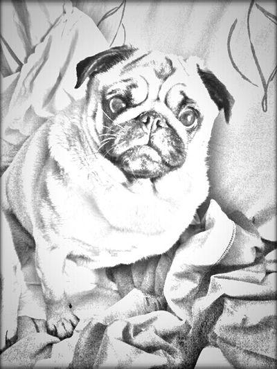 darling...la mia Mathilda Puglife Pug Love Pug Carlino Carlino Cane Dog Carlino Pug Black And White Black & White Monochrome Drawing Torino, Italy
