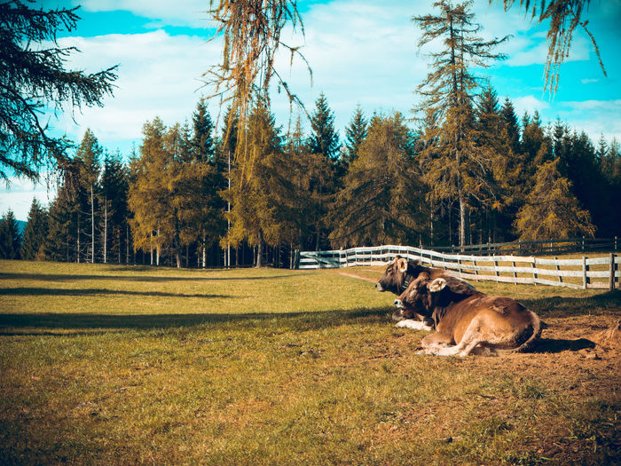 Cows are relaxing in the grass on a wide natural farm area. Bozen Bolzano Langfenn Farm Animal Mammal Plant Tree Animal Themes Land Field Sky Day Cows Cows In A Field Organic Organic Farm South Tyrol Italy Larches Lärchen Natural Alm