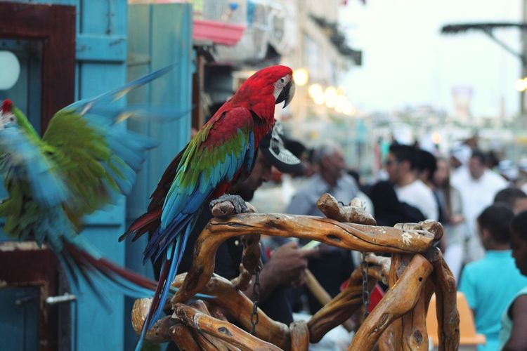 Macaw Perching On Wood For Sale At Market