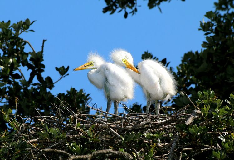 Florida Nature Nesting Birds Close Up Nature Florida Birds Florida Wildlife Chicks In Nest Fledglings Bird Beak Blue Sky Egret